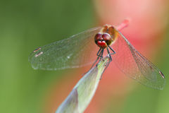 Dragonfly on the plant closeup Royalty Free Stock Photos