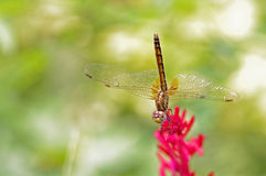 Dragonfly on Plumed Celosia Royalty Free Stock Photo