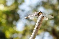 Dragonfly pobyt wciąż Obrazy Stock