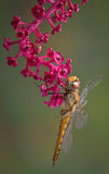 Dragonfly on pokeweed Stock Photography