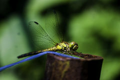 Dragonfly. Pop-eyed dragonfly with membranous wings sits on top Royalty Free Stock Image