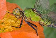Dragonfly on poppy Stock Photo