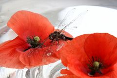 Dragonfly and poppy Royalty Free Stock Images