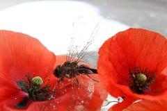 Dragonfly and poppy Royalty Free Stock Photos