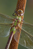 Dragonfly portrait Stock Photography
