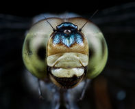 Dragonfly portrait/face shot Stock Photography