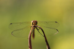 Dragonfly portrait Royalty Free Stock Photos