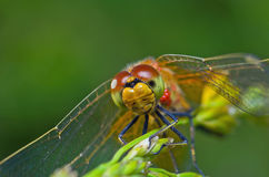 Dragonfly portrait Stock Images