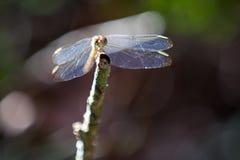 Dragonfly portret Obrazy Royalty Free