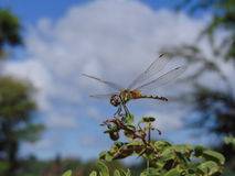 Dragonfly portret Zdjęcie Stock