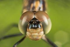 Dragonfly portret z brown i zielonych oczu makro- zakończenia up szczegółem fotografia stock