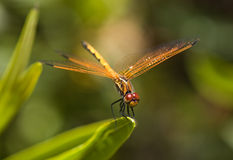 Dragonfly pose Stock Images