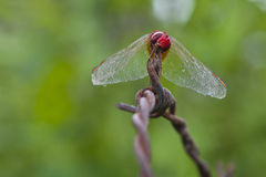 Dragonfly pose. The red dragonfly pose for camera in the green background Stock Image