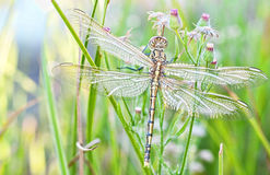 dragonfly potomstwa zdjęcie royalty free