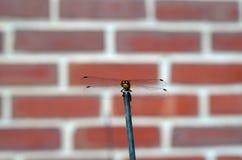 Dragonfly poza Obrazy Royalty Free