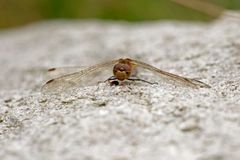 Dragonfly with prey sitting on rock Stock Photos