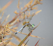 Dragonfly in profile on golden fall grass Stock Photography