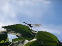 Dragonfly profile on top of green leaves and a blue sky. Dragonfly stops for a rest on top of green leaves against a light blue sky long enough to show off his stock photography