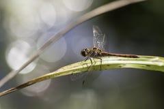 Dragonfly przeciw odbijającemu światłu Obraz Royalty Free