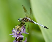 Dragonfly on purple Stock Image