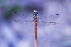 Dragonfly on purple background. Beautiful dragonly and purple backgroud Royalty Free Stock Photography