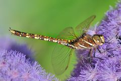 Dragonfly on a purple flower Royalty Free Stock Image