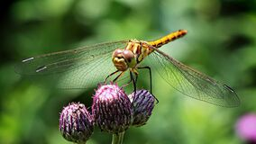Dragonfly on Purple Flower Stock Photo