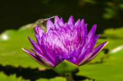 Dragonfly on Purple Lilypad Flower Stock Image