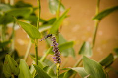 Dragonfly on Purple Wildflower Royalty Free Stock Photos