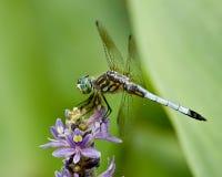 dragonfly purpury Obraz Stock