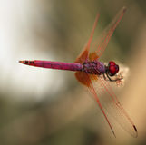 Dragonfly in Qatar Stock Photography