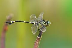 Dragonfly (rapax Ictinogomphus) Стоковое фото RF