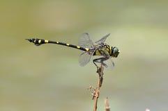 Dragonfly (rapax Ictinogomphus) Стоковая Фотография RF