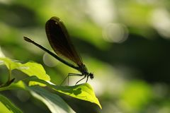Navy Blue Dragonfly on Leaf Royalty Free Stock Photography