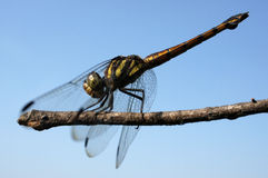 Dragonfly ready to take off on a branch Stock Photo