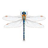 Dragonfly realistic isolated Royalty Free Stock Image