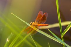 1dragonfly photographie stock
