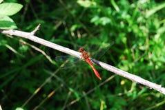 Dragonfly_red Lizenzfreies Stockfoto
