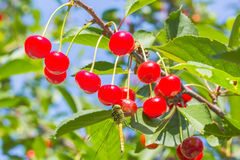 Dragonfly on red berries cherries, macro Royalty Free Stock Photography