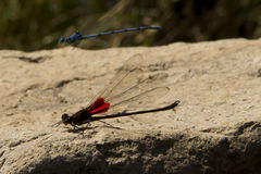 Dragonfly. Red and blue dragonflies fliying above a rock in a summer day Royalty Free Stock Photo