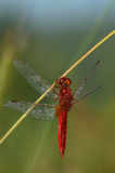 Dragonfly. Red dragonfly on branch with water drops on the body and wings royalty free stock photography