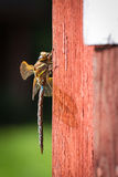 Dragonfly on a red cabin wall. Sideview of a dragonfly on the outside wall of a red cabin Royalty Free Stock Image