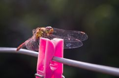 Dragonfly on the red clothespin clip, Sympetrum Stock Photos