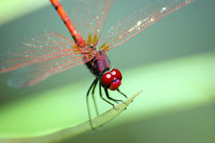Dragonfly red eyes Royalty Free Stock Photos