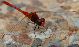 Dragonfly - Red Face. A Macro shot of a red dragonfly showing little whiskers on it's face Stock Photo