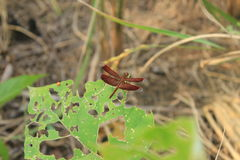 Dragonfly. Red dragonfly perched on a leaf being Stock Photography