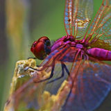 Dragonfly. Red dragonfly resting on a branch Royalty Free Stock Images