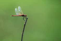 Dragonfly. The red dragonfly sits on a branch on a meadow Stock Photography