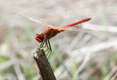 Dragonfly red - Sympetrum striolatum royalty free stock photography