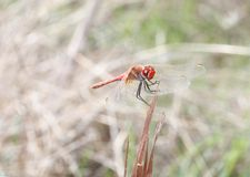 Dragonfly red - Sympetrum striolatum wide royalty free stock photos